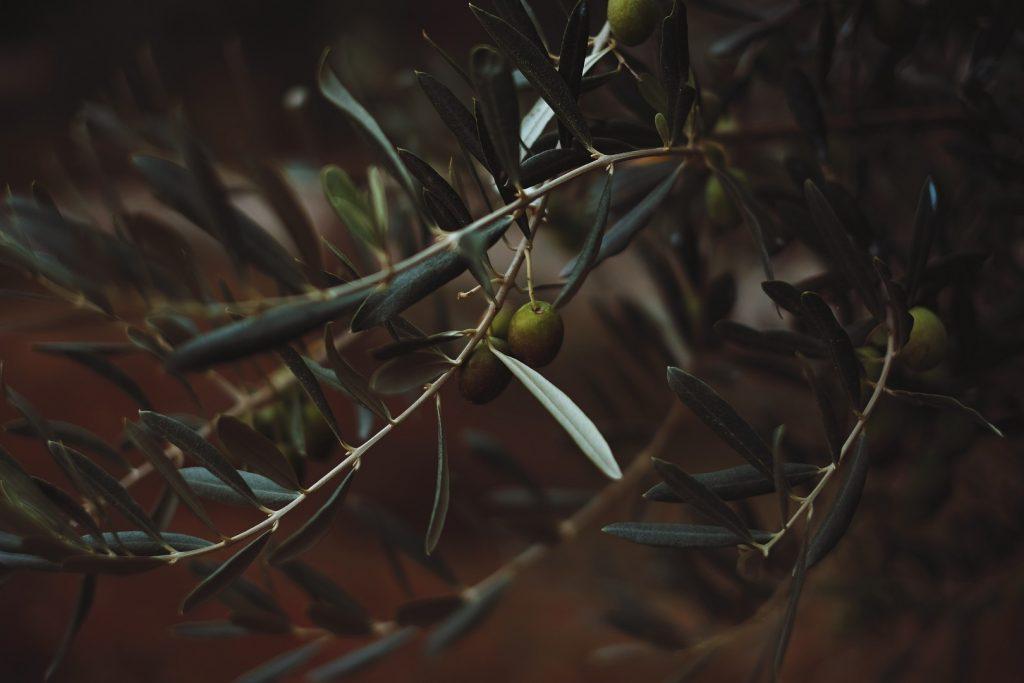 olive-groves-jpg-jpg-4