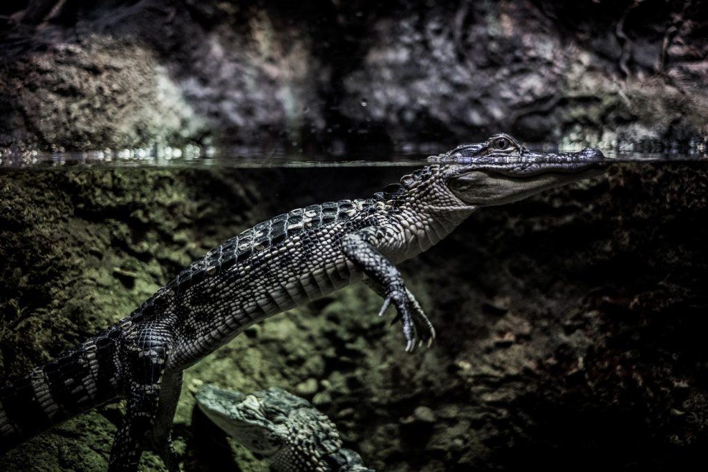 crocodile-zoo-jpg-jpg