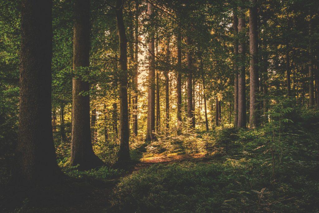 conifer-dawn-daylight-167698162236554260b3556648c4e-jpg