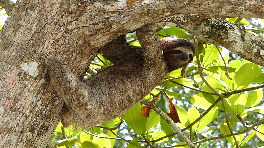 costa-rica-sloth162244783660b496dc97f6f-jpg