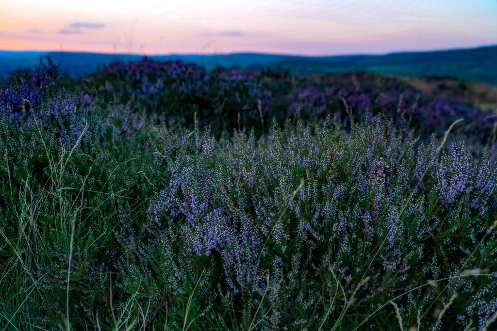 lavender-162245075860b4a246297f2-jpg