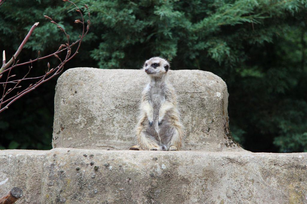 zoo-meerkat162254520360b613336ea60-jpg