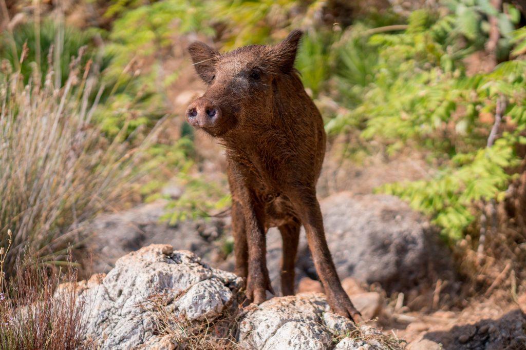 wild-boar162255977160b64c1b6ae0f-jpg
